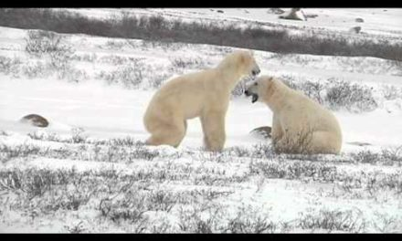 Val's Polar Bear Sparring